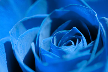 blue rose close-up, flower head background