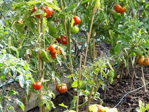 plant de tomates dans un jardin photo libre de droits sur la banque d 39 images. Black Bedroom Furniture Sets. Home Design Ideas