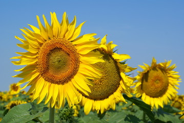 a different kind of sunflower against a blue sky