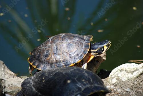 Tartarughe d 39 acqua dolce immagini e fotografie royalty for Tartarughe acqua dolce prezzo