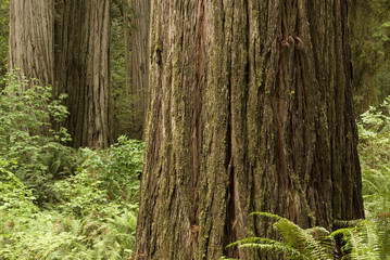 Redwood trees with ferns.
