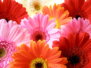 colorful gerbera petals