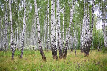 Spoed Foto op Canvas Berkbosje Summer birch wood