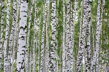 Garden Poster Birch Grove Summer birch wood