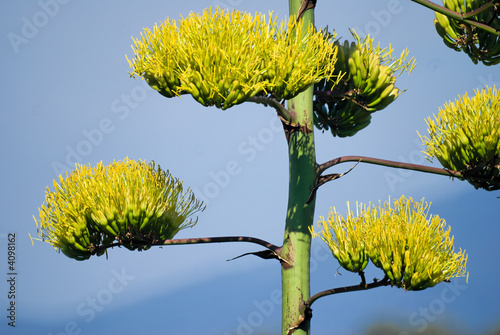 Fleur D Agave Stock Photo And Royalty Free Images On Fotolia Com