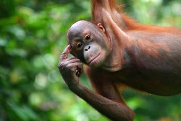 Fotorolgordijn Aap Orang-Utan in der Orang-Utan-Station Sepilok auf Borneo