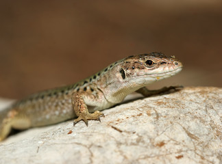 closeup photo of lizard standing on the rock