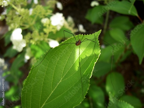 """Faucheux Araignée araignée (faucheux) (2)"""" stock photo and royalty-free images on"""