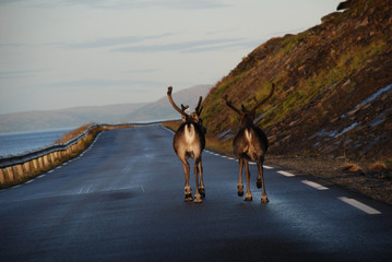 Tuinposter Scandinavië Reindeers on route