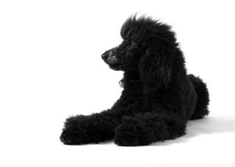 Poodle sleepy Black & White