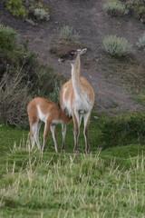 Guanaco mère et enfant