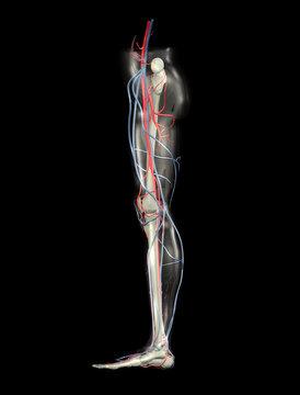 Human Leg, Arteries, Veins, Bones