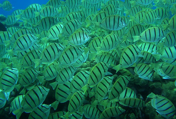 Striped fish schooling