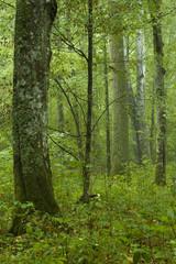 Rich deciduous forest rain after