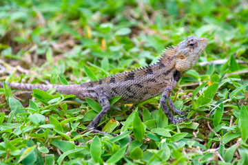 Grey Lizard on Green Grass