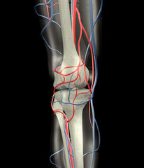 Knee Arteries, Veins, Bones