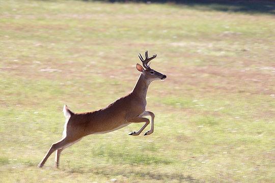 A deer leaps through the air.