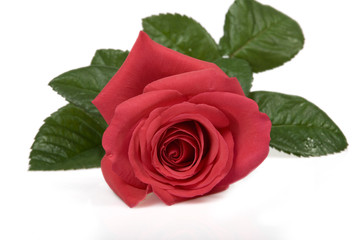 valentines, flower, rose,