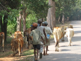 Cambodia Young Cow Herders