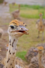 Smiling little ostrich