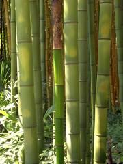 Bambus 08
