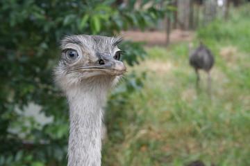 Mirada de avestruz