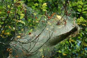 caterpillar webs