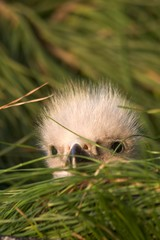 Bald Eagle Chick