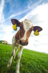 cute curious baby cow