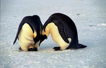 Fototapeten Pinguin Ponte de manchots empereurs