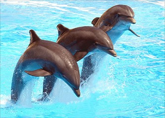 Photo sur Aluminium Dauphins Three Dolphins