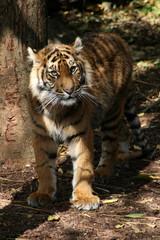 Bengal tiger standing
