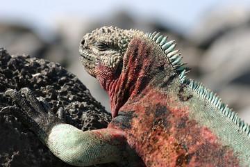 Iguana relaxing in the sun