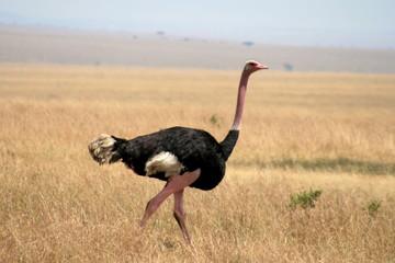 Ostrich in natural habitat