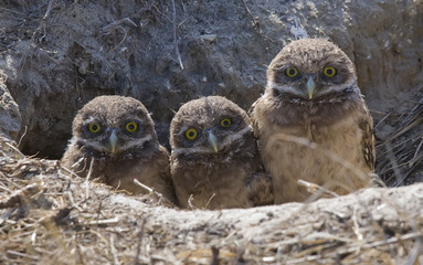 baby Burrowing Owls with funny expression