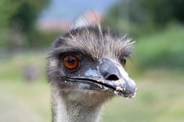 ostrich head portrait close up