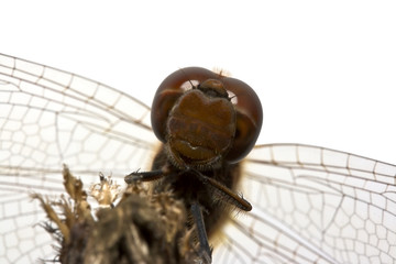 close-up dragonfly on white background