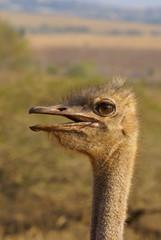 Ostrich - portrait