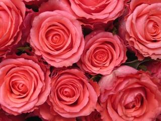 Rosen rosa 2
