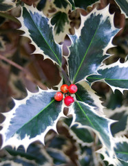 Holly & Berries - Christmas Decoration