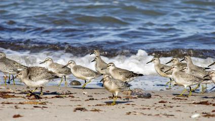 Birds on the Beach – Calidris Canutus in Denmark.