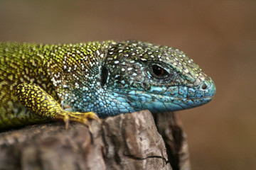 Close-up of lizard Lacerta viridis