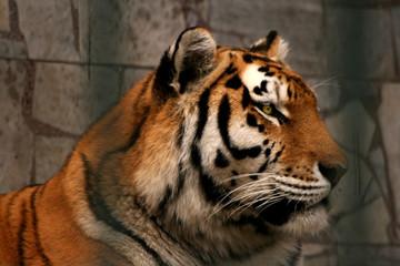 Panthera tigris altaica - tiger