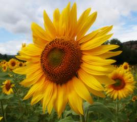 Soft Focus Sunflower