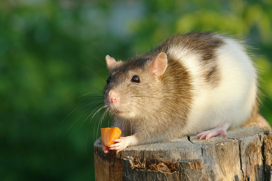 Mouse hold a carrot
