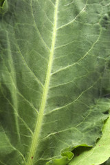Cabbage Leafs
