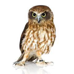 Photo sur Aluminium Chouette New Zealand owl