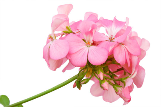 Beautiful inflorescence of pink geranium