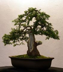 Bonsai Three
