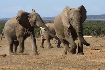 young elephants playing with nom looking on